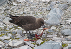 Skua snacking