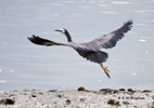 White-cheeked heron